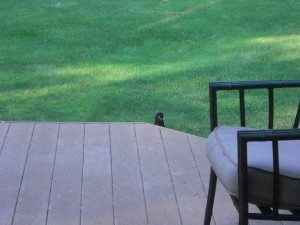 Baby Crow on Deck Steps