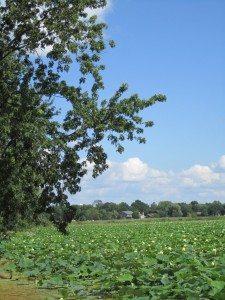 Lily Lake On A Beautiful Summer Day