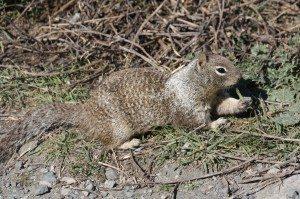 California Ground Squirrel Enjoying Lunch