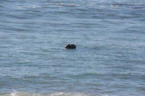 An Elephant Seal Taking A Swim