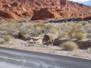 A Big Horned Sheep Munching On Dinner Next To The Roadside In Valley Of Fire State Park