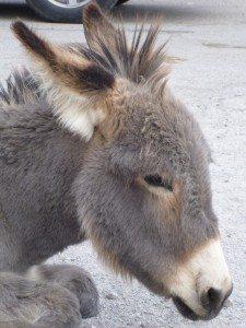 A Baby Burro In Oatman, AZ
