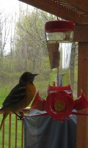 Oriole Trying To Drink Out Of Hummingbird Feeder