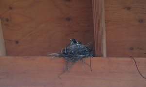 Baby Robins Almost Ready To Take Flight