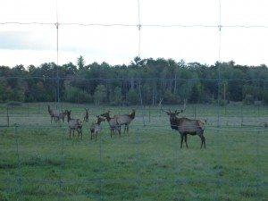 A Bull (Male) Elk And All His Female Cows (Female) Elk.