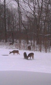 Deer In Our Backyard Eating The Cracked Corn I Put Out For Them.