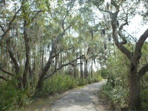 Large Oak Trees With Hanging Moss On A Walking Trail.