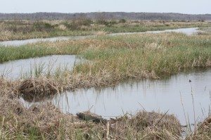 American Alligator In Foreground