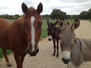 Diego (horse) and Mildred and Jackson (the donkeys)
