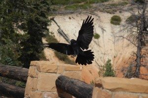 Raven In Bryce Canyon