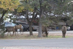Elk In Trailer Village At The Grand Canyon