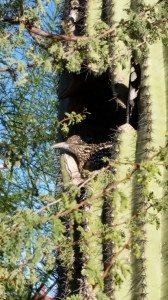 Road Runner Resting In Saguaro Cactus